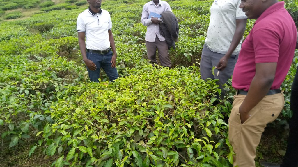 A ground truthing survey being executed during a seasonal monitoring of the tea crop.